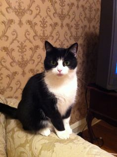 Harper Lee, the tuxedo cat - Thiswaycome.com