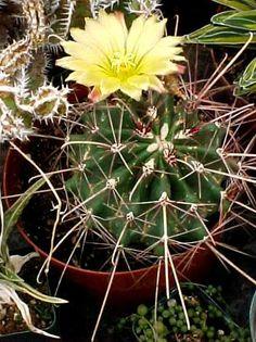Sedum dendroideum subsp praealtum shrubby stonecrop for Drought resistant grass crossword clue
