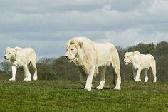 White lions -Rare