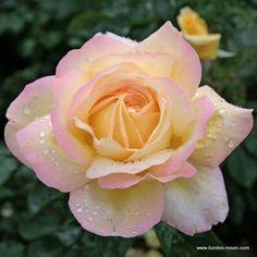 Gloria Dei hybrid tea rose