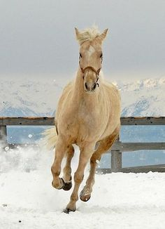 Looks like my horse when I was growing up... Poncho was a Burns Oregon wild mustang that we adopted.