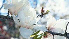 How to grow magnolias #gardening #plant #flowers