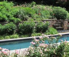 Back garden in Bethesda uses lap pool as focal point, and masses of Knockout roses.