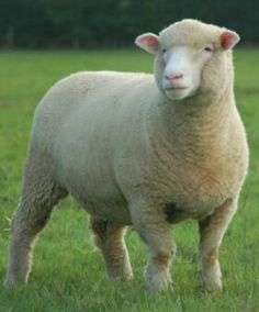 polled dorset ewe, one of my favourite sheep! Dorset Sheep, Suffolk Sheep, Sheep Art, Sheep Wool, Ewe Sheep, Farm Animals, Animals And Pets, Cute Animals, Cattle Farming