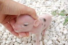 Tiny Male, Teacup piglet Tea cup Pig, PINK SPOTTED!