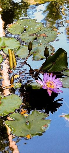 XplorMor International aims to promote exploration, conservation and protection of our dynamic planet. Photography Website, Nature Photography, Koi Art, Lily Painting, Water Flowers, Lotus Flowers, Lily Pond, Aquatic Plants, Lawn And Garden