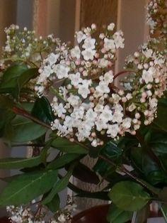 Je rage un peu après cet arbuste qui a poussé - sans demander l'avis des propriétaires ...! - entre deux rhododendrons ... Mais ces jours-ci, je lui pardonne tout , car il fleurit et me donne de belles branches qui s'épanouissent à la chaleur...