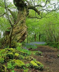 'Antlered' Sweet Chestnut; Inchmahome, Stirlingshire, Scotland