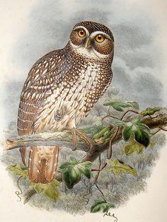 New Britain Hawk Owl (1875-88)