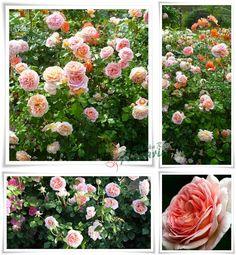 angielskie róże Candy Rain