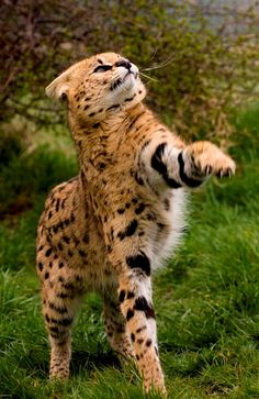 """A Serval ~ Taking A Swipe."" (Photo By: Mike Seamons © ) A Serval is an African Wild Cat. Small Wild Cats, Big Cats, Cool Cats, Gatos Serval, Serval Cats, Siamese Cats, Beautiful Cats, Animals Beautiful, Cute Baby Animals"