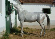 Hispaño Arabe stallion