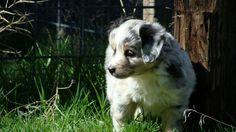 Mini Aussie Mini Aussie Puppy, Toy Aussie, Aussie Puppies, Dogs And Puppies, Australian Shepherd, Animals, Aussie Shepherd, Animales, Animaux