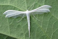 White Plumed Moth (The Pterophoridae) - Paradise of birds