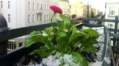 """KLEINE PAUSE – Der Frühling hat dem Aprilwetter Platz gemacht und dieses Foto mit demiPhone 4 ermöglicht. Obwohl sich bestimmt alle Pflanzen über Niederschlag freuen, sind Hagel und Schnee doch etwas zu viel des """"Guten""""."""