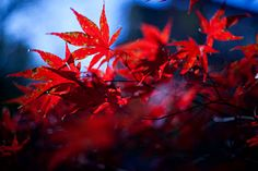 Maple tree- beautiful red and blue