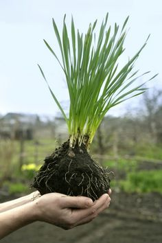 Dividing Daffodils: Can You Transplant Daffodil Bulbs - Over the years transplanting daffodil plants becomes necessary. Can you transplant daffodil bulbs anytime of the year? Learn when and how to divide and transplant daffodils plus storage and planting Daffodils Planting, Planting Bulbs, Garden Bulbs, Garden Plants, Fruit Garden, House Plants, Succulents Garden, Hydroponic Gardening, Gardening Tips
