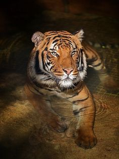 """Tiger: """"Cooling Off in a Private Pool. Save The Tiger, Tiger Love, Beautiful Cats, Animals Beautiful, Cute Animals, Wild Animals, Otter, All About Tigers, Tiger Skin"""