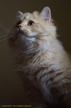 Irish de la Querencia, chaton mâle british Longhair de 5,5 mois. Crédit photo : Bernadette Capparos