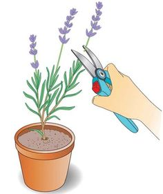 Multiply lavender by cuttings- Lavendel durch Stecklinge vermehren Multiplying lavender by cuttings – Page 5 – My beautiful garden - Balcony Plants, Balcony Garden, Garden Plants, Indoor Plants, Balcony Flowers, Garden Types, Garden Projects, Projects For Kids, Amazing Gardens