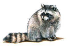 Raccoon - Colored Pencil Drawing - Samantha Luotonen