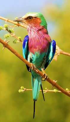 Lilac-breasted Roller - sub-Saharan Africa and the southern Arabian Peninsula