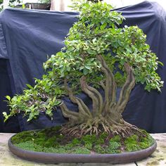 Unknown Bonsai