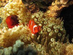 https://flic.kr/p/f9ULQx | Spinecheek Anemonefish (Premnas biaculeatus) | Bunaken, North Sulawesi - Indonesia