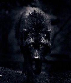 This is not a werewolf drawing, this a photograph by an incredible photographer named Carl Cook. This wolf is a female named Destiny. I had found the wolf series many years ago. Unfortunately, his site seems to be gone. Beautiful Creatures, Animals Beautiful, Feral Heart, Regard Animal, Wolf Hybrid, Timberwolf, She Wolf, Beautiful Wolves, Beautiful Eyes
