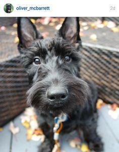 Scottie Mom: Scottish Terriers of Instagram: November 5