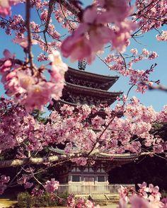 Daigo-ji Temple, Kyoto, Japan, World Heritage, Sakura, 醍醐寺, 京都, 日本, 世界遺産, 桜