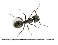 Carpenter Ant, this is the real thing to compare against the realistic imitation.