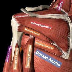 Músculos del tórax posterior
