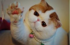 Snoopy The Cat ~ Exotic