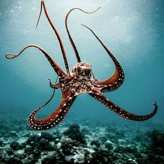♣️Fosterginger.Pinterest.Com🌑More Pins Like This One At FOSTERGINGER @ PINTEREST 🌑No Pin Limits🌑でこのようなピンがいっぱいになる🌑ピンの限界🌑 Cuttlefish, Underwater Animals, Underwater Creatures, Underwater Life, Ocean Creatures, Octopus Photography, Marine Photography, Marine Life, Octopuses