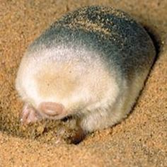 Golden mole:  completely eyeless~~~Their eyes are non-functional and covered with skin and fur...