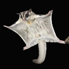 Sugar gliders, which are actually another type of possum, use their teeth to tap eucalyptus trees for their sap.