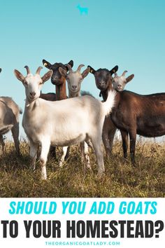 If you're considering adding goats to the list of your homestead animals, whether it is for meat, for milk, for profit or as pets, you'll want to read this article first. There are plenty of reasons why goats are popular for beginners on hobby farms, but be sure you go into it knowing the challenges that come from goats as well. Check out this post before you decide how to add goats at your house. #Goats #RaisingGoats #HomesteadAnimals #HomesteadingForBeginners #SelfSufficiency Essential Oil Roll Ons, Essential Oil Chart, Feeding Goats, Raising Goats, Happy Goat, Goat Care, Nigerian Dwarf Goats, Emotional Child, Goat Farming