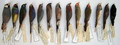 Working With Birds | Beaty Biodiversity Museum: resources for skin and bone preparation of avian specimens.