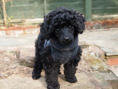 Tiny black a Toy Poodle puppy wearing an old ski sock that has been magically transformed into a warm jumper :)