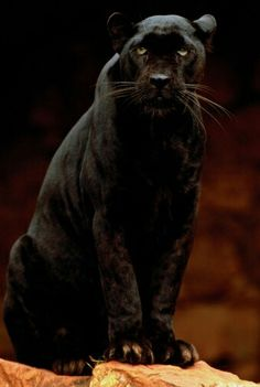 Black Panther was my mascot for H.G Hill Middle School.Once a panther always a panther. Big Cats, Cool Cats, Beautiful Cats, Animals Beautiful, Wild Animal Wallpaper, Iphone Wallpaper, Black Panthers, Panther Leopard, Gato Grande