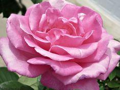 Pink Rose, 12 Variet