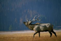 Bull Elk Bugling, Arkansas on Fotopedia