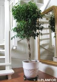 Ficus Spire: Keep the soil barely moist and if you use rainwater, be careful as… Ficus Tree Indoor, Tall Indoor Plants, Outdoor Landscaping, Front Yard Landscaping, Low Maintenance Indoor Plants, Pothos Plant, Easy Care Plants, Inside Plants, Little Gardens