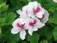 Pelargonium Mrs G H Smith