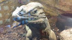 The Bearded Dragon is my new love interest. https://podcastinwords.wordpress.com/2014/10/13/dinosaurs/