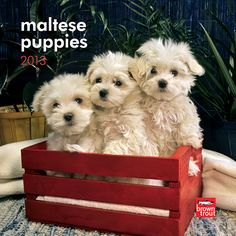 Maltese Puppies Mini Wall Calendar: Maltese puppies love attention and don't mind being treated like the baby of the family! Fluffy and fun, sweet and silky with inquisitive eyes and playful personalities, they are easy to adore.  $7.99  http://calendars.com/Maltese-Dog/Maltese-Puppies-2013-Mini-Wall-Calendar/prod201300004671/?categoryId=cat10131=cat10131#