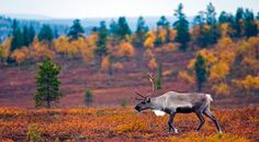 Ruska - autumn colours for your interiors by Aito Nordic – AitoNordic This time of the year all the Scandinavian countries go through a period filled with colours. Check out the pictures and our suggestions for the interiors! Lappland, Lapland Finland, Scandinavian Countries, Fall Photos, Nature Pictures, Amazing Nature, Norway, Nature Photography, Scenery