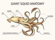 Find Giant Squid Drawn Engraving Tattoo Style stock images in HD and millions of other royalty-free stock photos, illustrations and vectors in the Shutterstock collection. Octopus Anatomy, Squid Drawing, Octopus Drawing, Octopus Pictures, Fish Chart, Squid Tattoo, Giant Squid, Illustration, Octopus Squid
