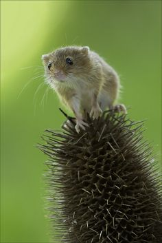 ~~Mini Mouse | the Harvest Mouse is Britain's smallest (and possibly cutest) rodent | by Phil Selby~~